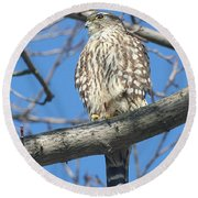 Perched Merlin Round Beach Towel