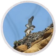 Peregrine Falcons - 3 Round Beach Towel
