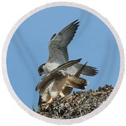 Peregrine Falcons - 4 Round Beach Towel