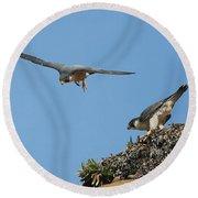 Peregrine Falcons - 6  Round Beach Towel