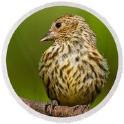 Pine Siskin With Yellow Coloration Round Beach Towel