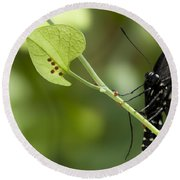 Round Beach Towel featuring the photograph Pipevine Swallowtail Mother With Eggs by Meg Rousher