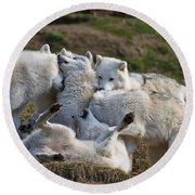 Round Beach Towel featuring the photograph Playful Pack by Wolves Only