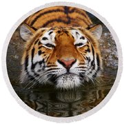 Portrait Of A Bathing Siberian Tiger Round Beach Towel