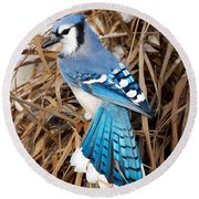 Portrait Of A Blue Jay Square Round Beach Towel