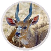 Portrait Of A Bushbuck In Kruger National Park-south Africa  Round Beach Towel