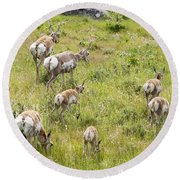 Pronghorn Antelope In Lamar Valley Round Beach Towel by Belinda Greb
