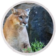 Puma On The Watch Round Beach Towel by John Telfer