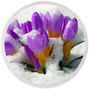 Purple Crocuses In The Snow Round Beach Towel by Sharon Talson