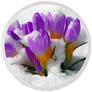 Purple Crocuses In The Snow Round Beach Towel