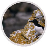 Razorbill Bird Round Beach Towel