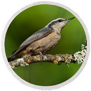 Red Breasted Nuthatch In A Tree Round Beach Towel