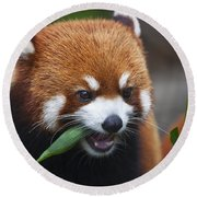 Red Panda _ailurus Fulgens_ Or Shining Cat, Is A Small Arboreal Mammal And The Only Species Of The Genus Ailurus_ Guangdong, China Round Beach Towel