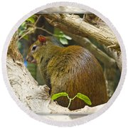 Red-rumped Agouti Round Beach Towel