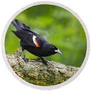Red Winged Blackbird Round Beach Towel by Christina Rollo