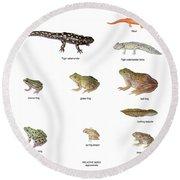 Relative Amphibian Sizes Round Beach Towel