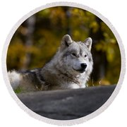 Round Beach Towel featuring the photograph Resting Arctic Wolf On Rocks by Wolves Only