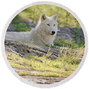 Round Beach Towel featuring the photograph Resting Arctic Wolf by Wolves Only
