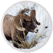 Round Beach Towel featuring the photograph Rocky Mountain Bighorn Sheep by Michael Chatt