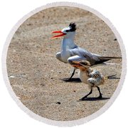 Royal Tern With Chick Round Beach Towel