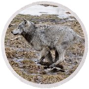 Round Beach Towel featuring the photograph Running Timber Wolf by Wolves Only