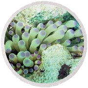 Round Beach Towel featuring the photograph Sea Anemone With Squat Anemone Shrimp Family by Amy McDaniel