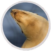 Round Beach Towel featuring the photograph Sea Lion Stretch by Bryan Keil