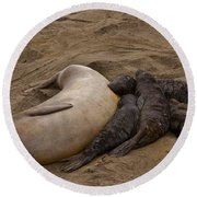 Seal And Pups Round Beach Towel