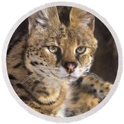 Round Beach Towel featuring the photograph Serval Portrait Wildlife Rescue by Dave Welling