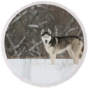 Round Beach Towel featuring the photograph Siberian Husky 20 by David Dunham
