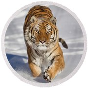 Siberian Tiger Coming Forward Round Beach Towel