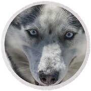 Round Beach Towel featuring the photograph Sled Dog  by Dennis Baswell