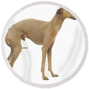 Small Italian Greyhound Round Beach Towel