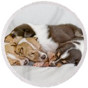 Smooth Collie Puppies Taking A Nap Round Beach Towel