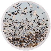 Snow Geese Takeoff From Farmers Corn Field. Round Beach Towel