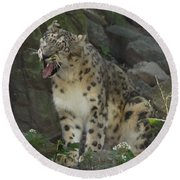 Snow Leopard Growling Round Beach Towel
