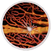 Soft Coral Crab On Red Gorgonian Round Beach Towel