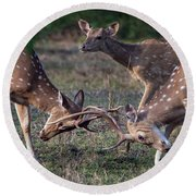 Spotted Deers Axis Axis Fighting, Kanha Round Beach Towel