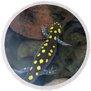 Spotted Salamander Round Beach Towel by Christina Rollo