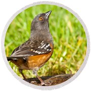 Spotted Towhee Looking Up Round Beach Towel