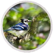 Spring Blue Jay Round Beach Towel by Christina Rollo