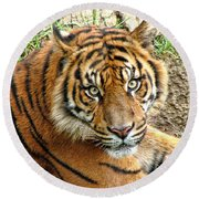 Staring Tiger Round Beach Towel