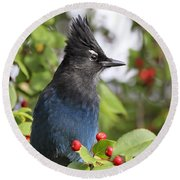 Steller's Jay And Red Berries Round Beach Towel