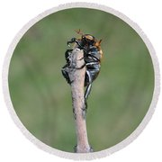Round Beach Towel featuring the photograph The Posing Beetle by Verana Stark