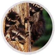 Three Young Raccoons In Hollow Tree Round Beach Towel