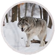 Round Beach Towel featuring the photograph Timber Wolf In Winter Forest by Wolves Only