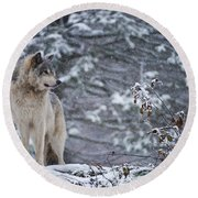Timber Wolf Pictures 189 Round Beach Towel