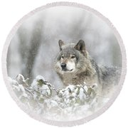 Timber Wolf Pictures 279 Round Beach Towel