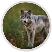 Timber Wolf Pictures 401 Round Beach Towel