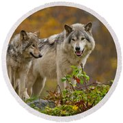 Timber Wolf Pictures 411 Round Beach Towel